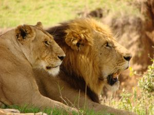 Female and Male Lions lounging in the grass at Maasai Mara in Kenya